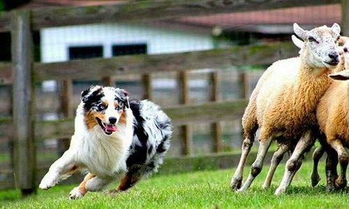 australian shepherd herding sheep