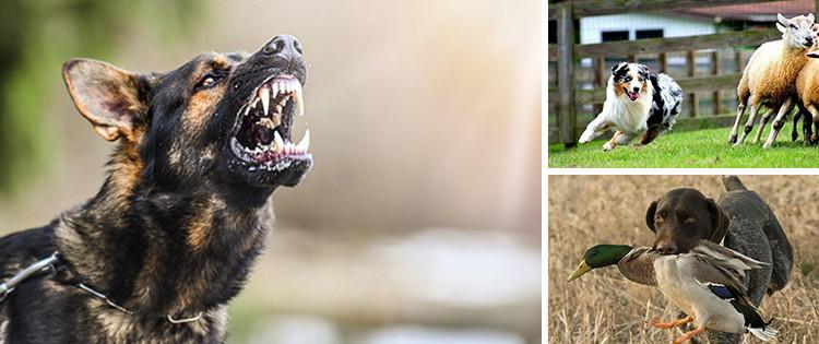 Best Dog Breeds For Homesteaders
