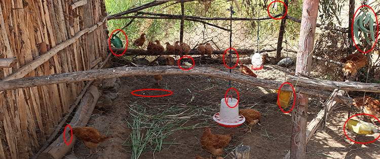 10 Common Mistakes You Should Avoid If You Want To Raise Chickens