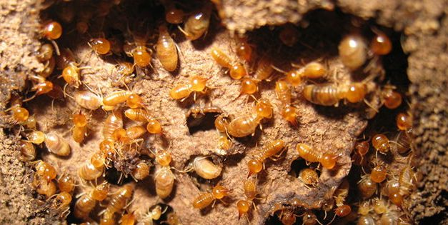 How To Get Rid Of Termites On Your Property