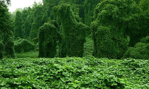 invasive herbs in backyard