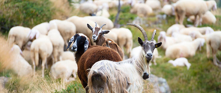 Goats Or Sheep?