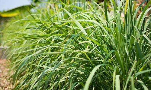 do you have lemongrass in your backyard